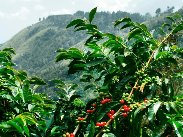 Planta del café - cafeto